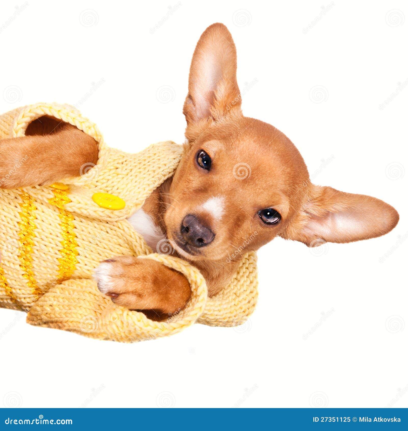 Vestiti da portare di inverno del cucciolo miniatura del for Pincher cucciolo