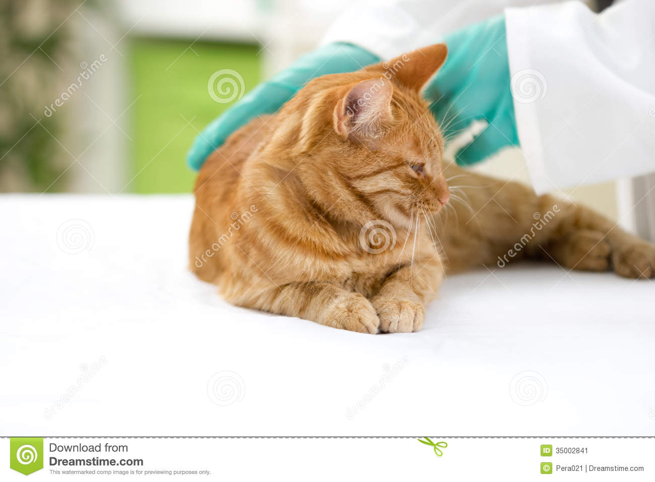 Vet checks the health of a cat in a veterinary clinic