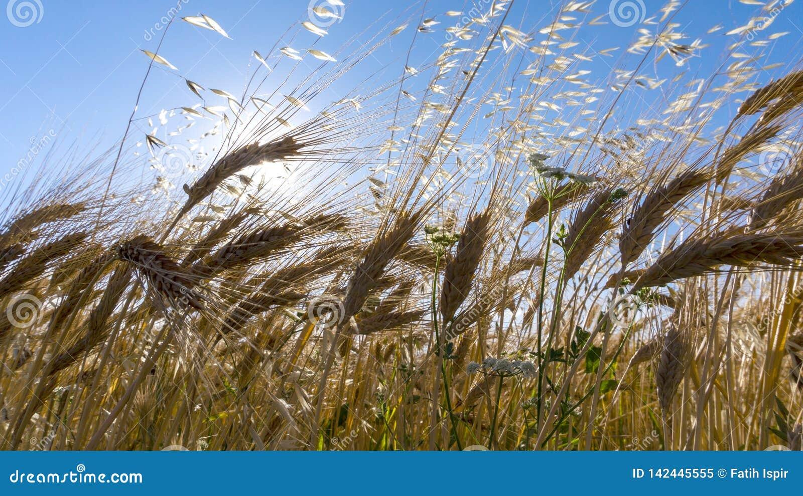 Veteåker i soligt och det fria