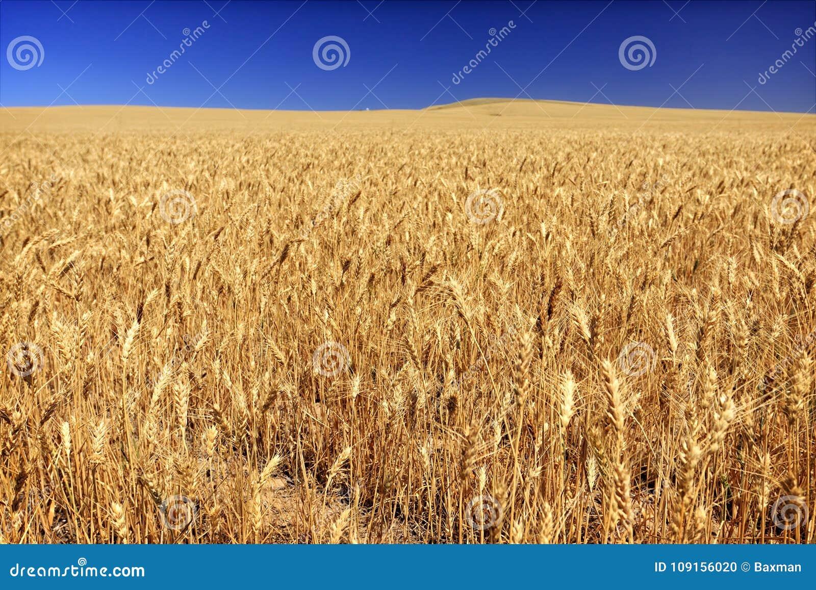 Veteåker på en kornlantgård i södra centrala Washington State