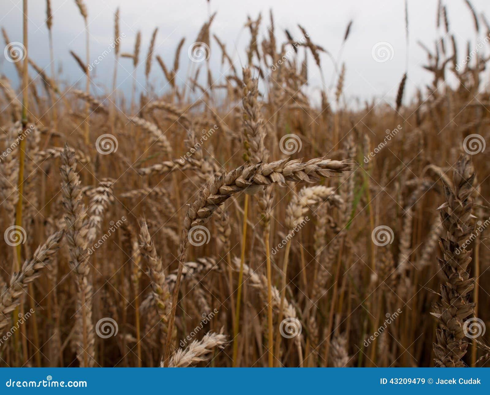 Download Vete fotografering för bildbyråer. Bild av vete, natur - 43209479