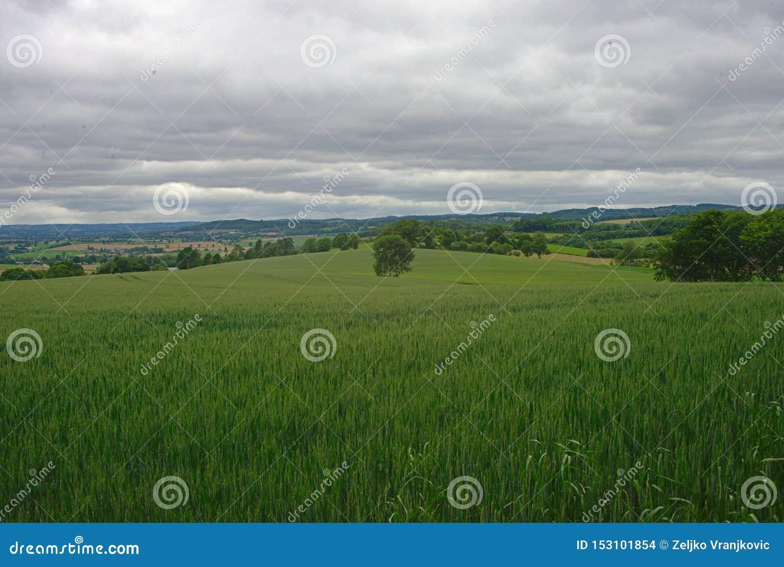 Vetefält med skogar och himmel i bakgrund