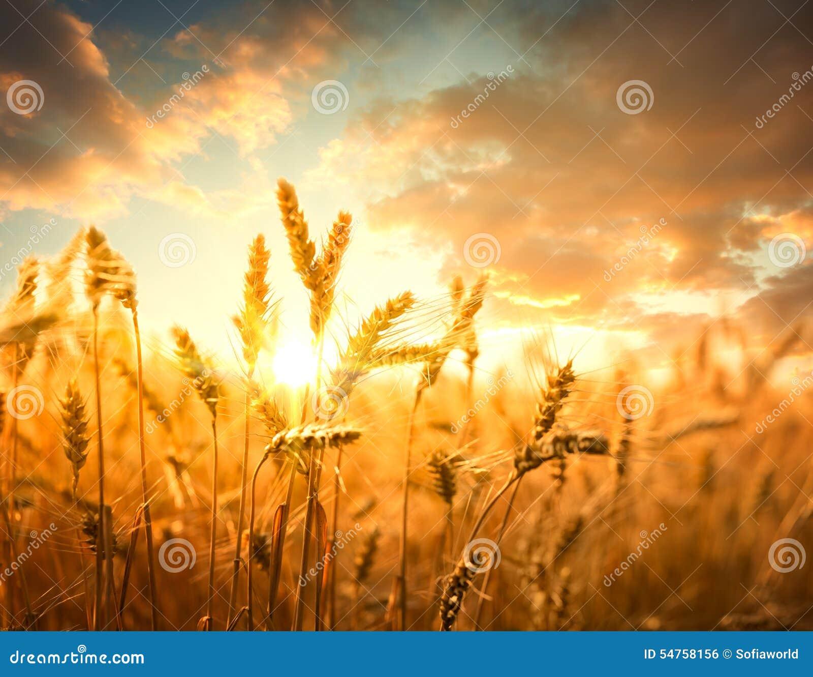 Vetefält mot guld- solnedgång
