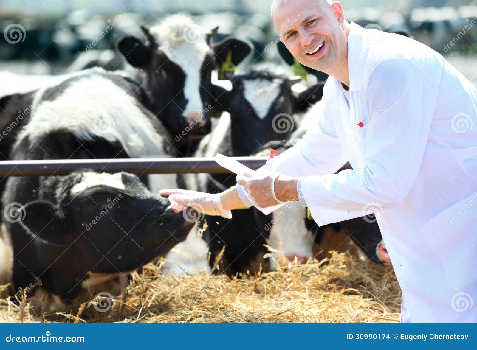 Veterinário da vaca