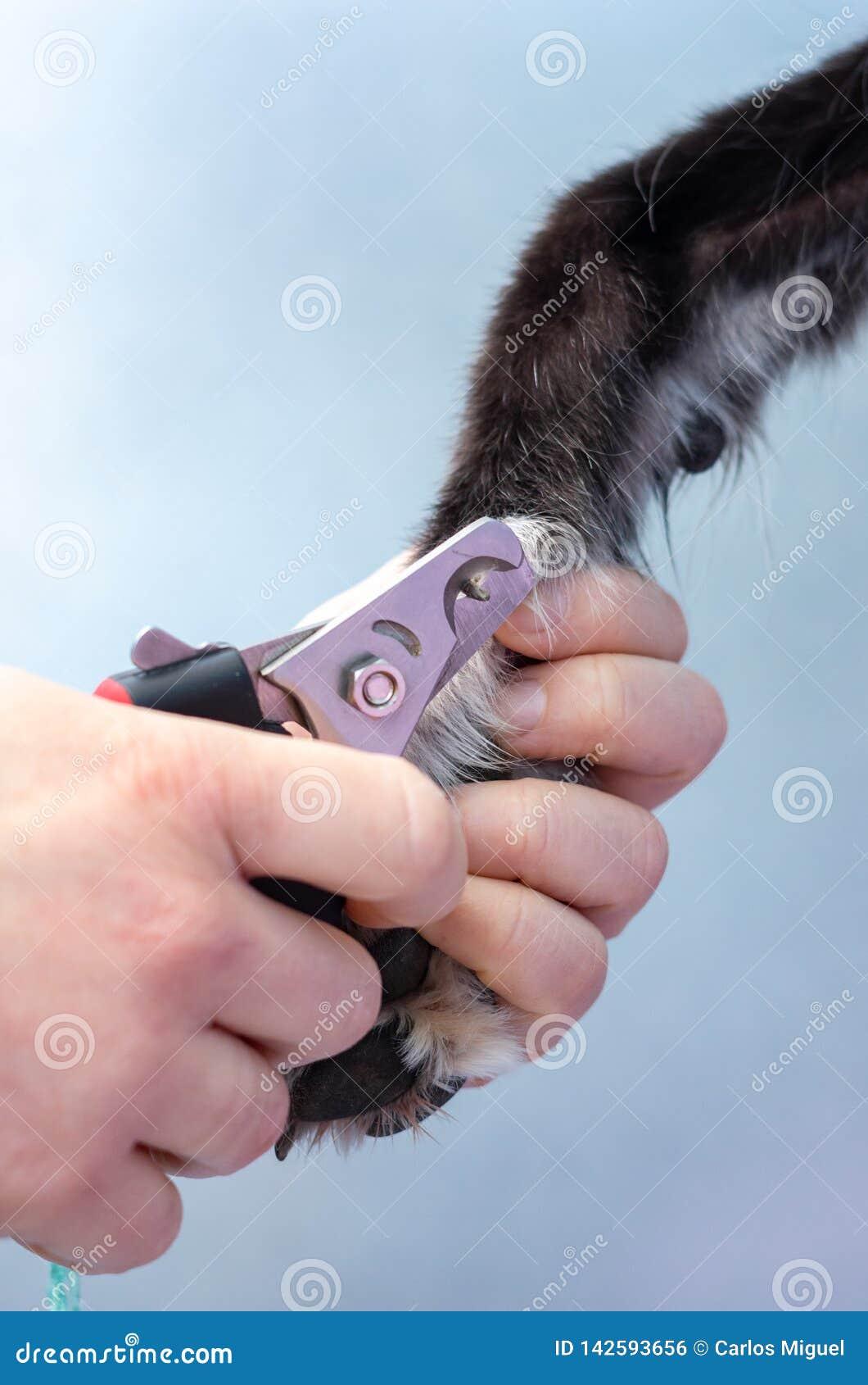 Veterinär, die Nägel eines Windhunds in einer Klinik schneiden