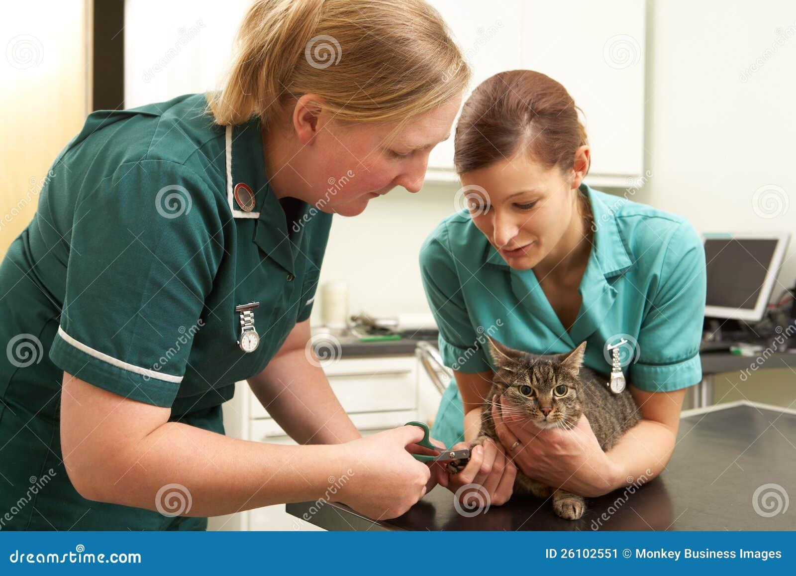 Veterinär- kirurg för kvinnlig och undersökande katt för sjuksköterska