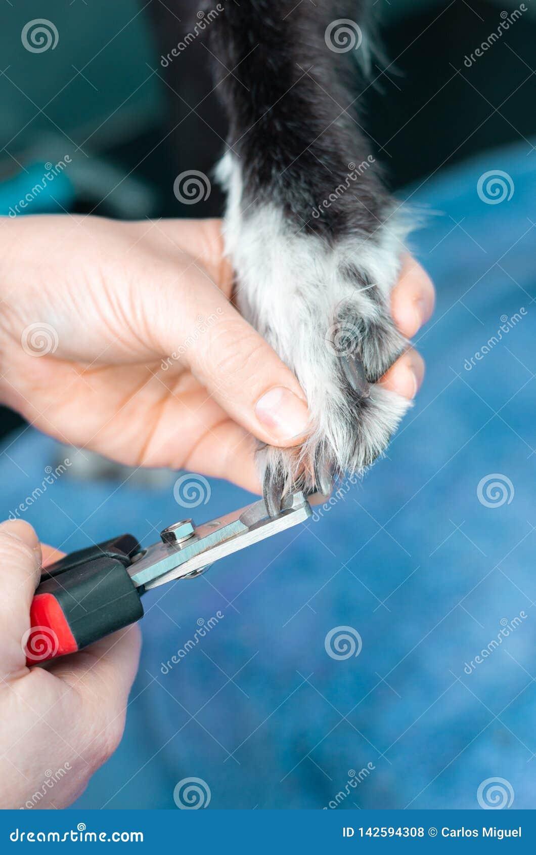 Veterinär- klippa spikar av en vinthund i en klinik
