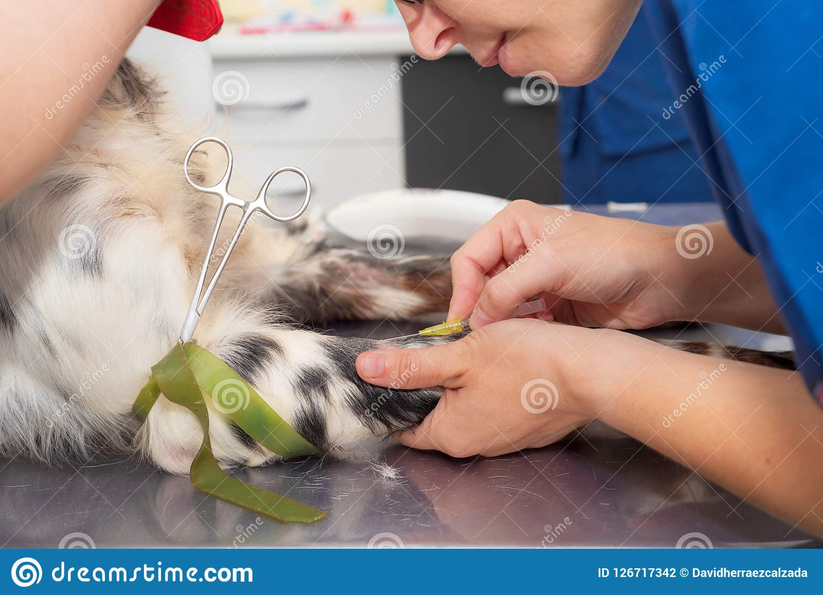 Veterinär- ställe en intravenös linje i en hund close upp