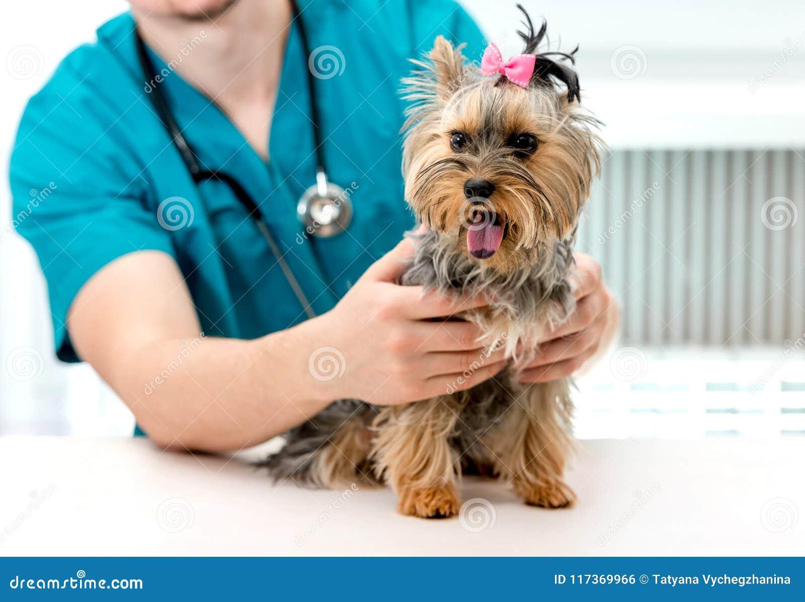 Veterinären räcker den hållande Yorkshire Terrier hunden på undersökningstabellen