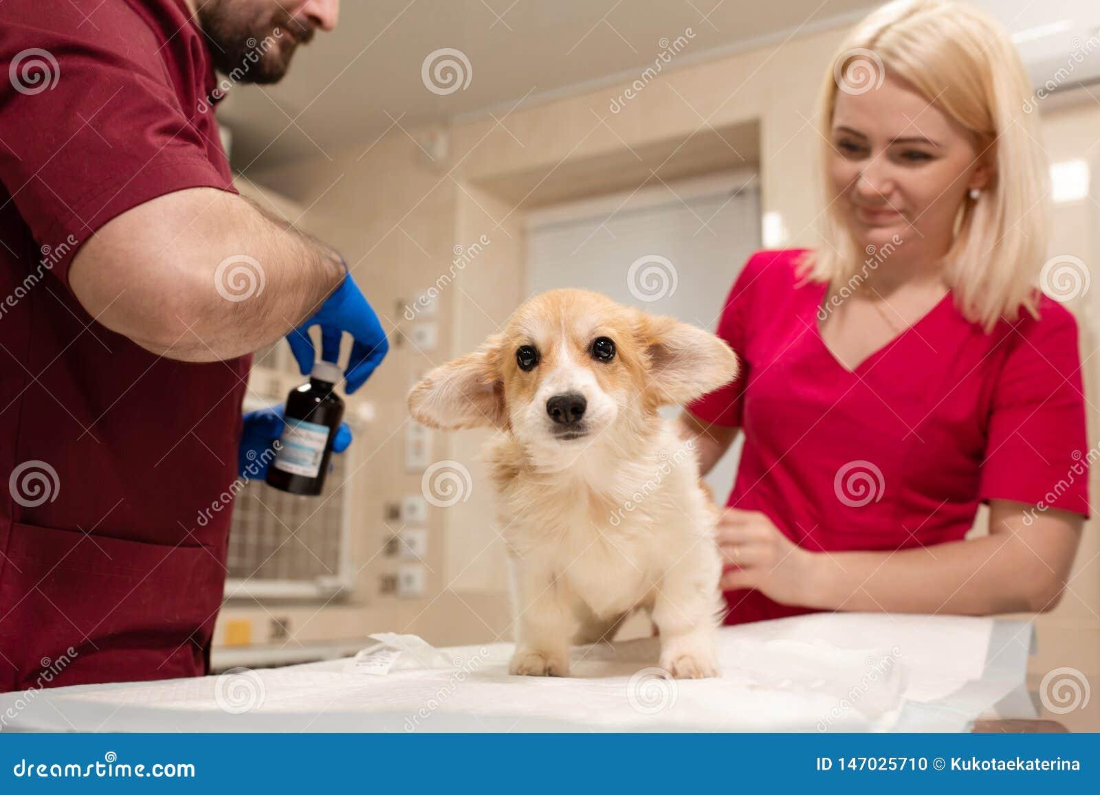 Veterin?rdoktorpr?fung wenig Corgihund im Manipulationsraum der Haustierklinik Haustier-Gesundheitswesen