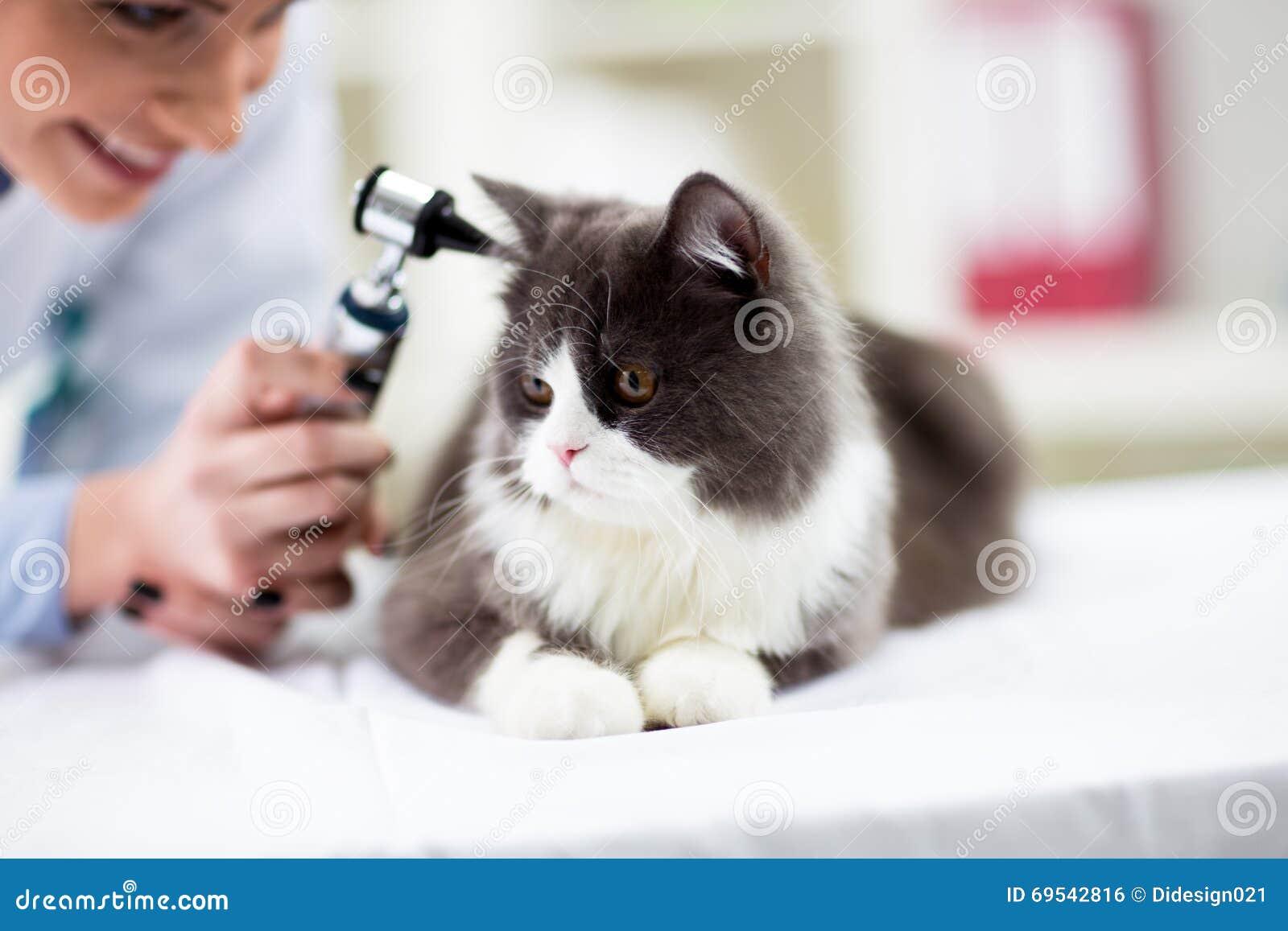 Veterinair het onderzoeken oor van katje met oorspiegel