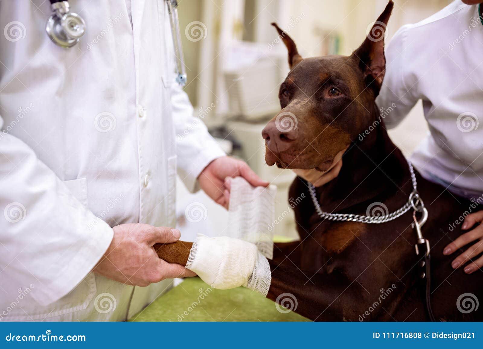 Veterinair het zetten verband op hond ziek been op huisdierenkantoor