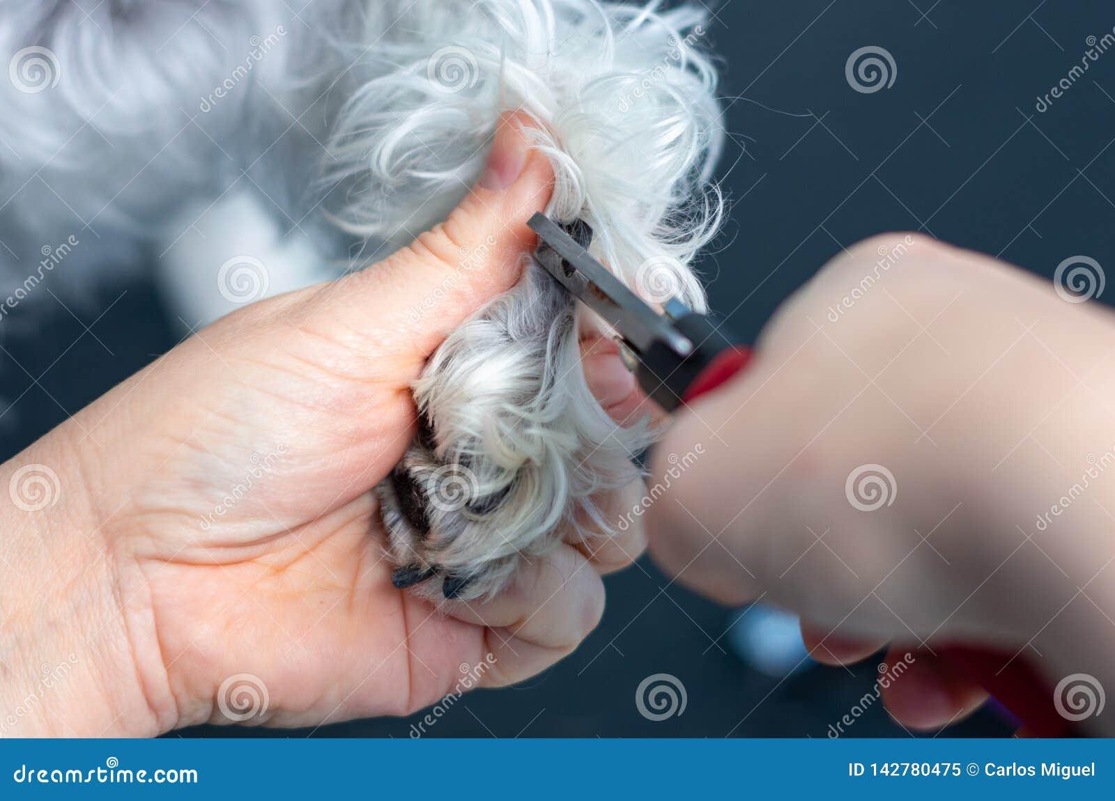 Veterinair knipsel de spijkers van een miniatuurschnauzer in een kliniek