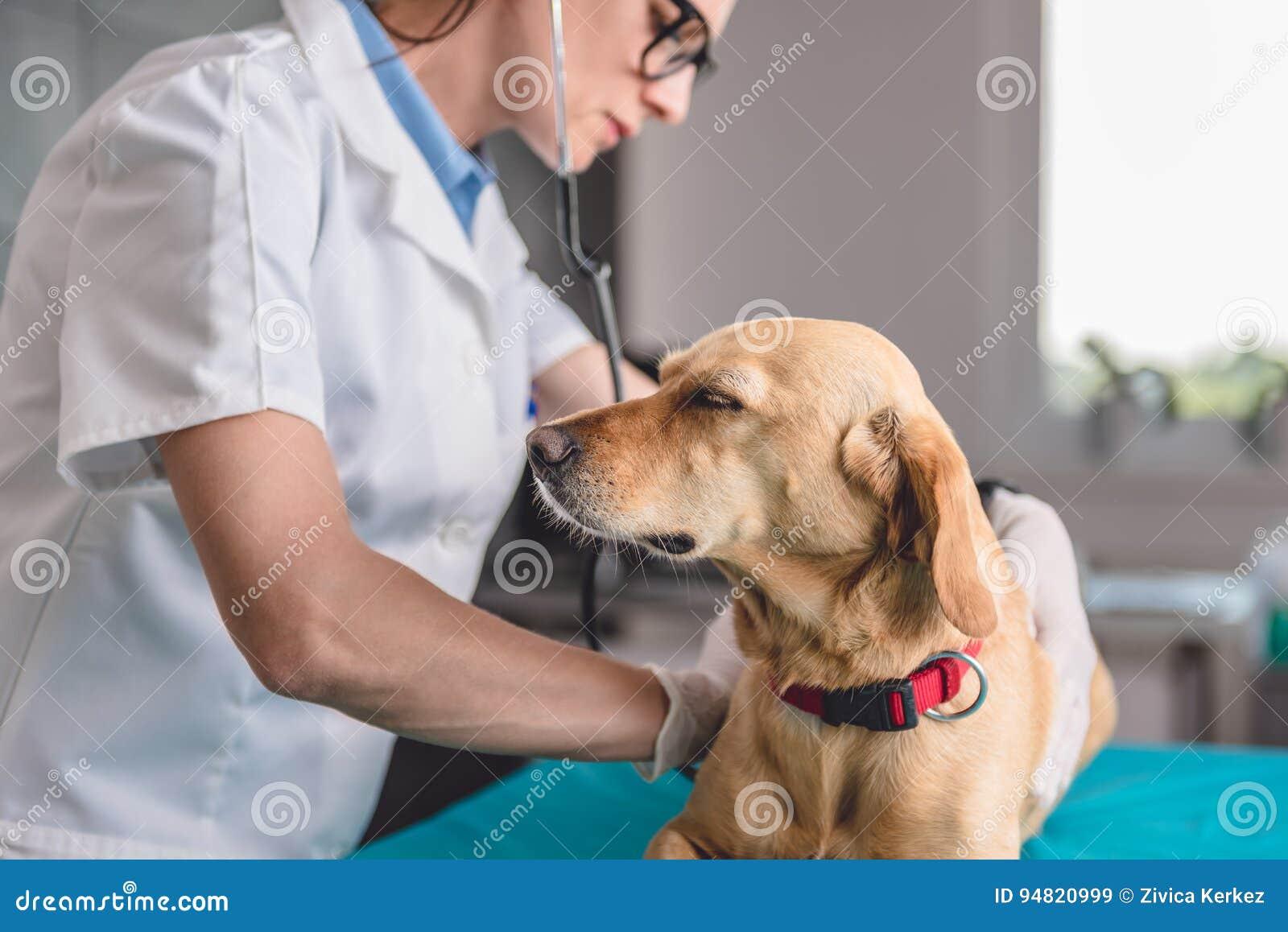 Veterinaire het onderzoeken hond