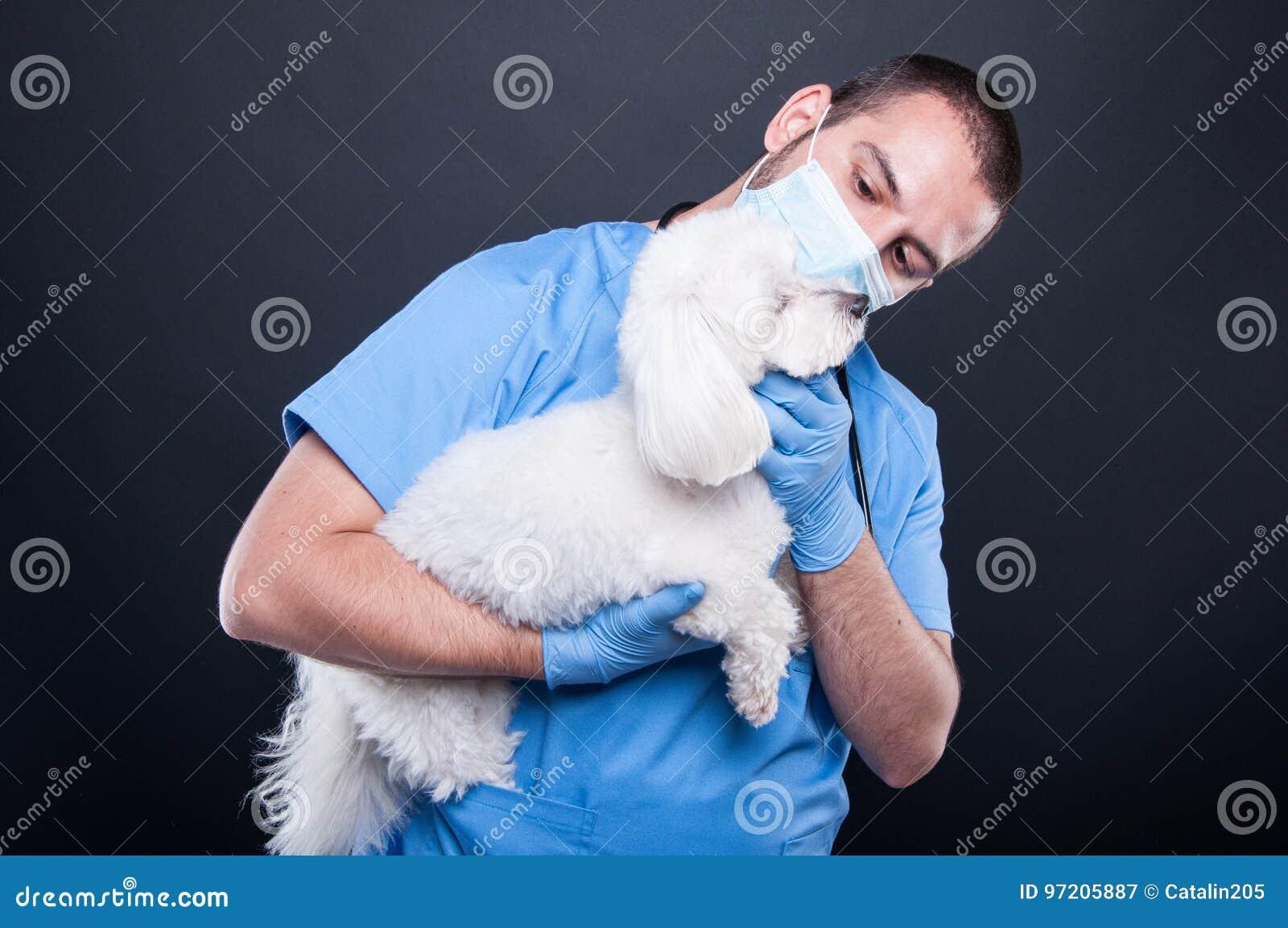 Veterinaire holding of het onderzoeken van witte bichonhond