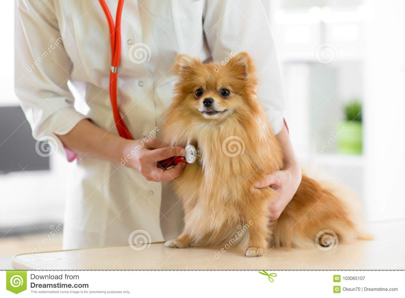 Veterinarian doctor using stethoscope during examination in veterinary clinic. Dog pomeranian Spitz in veterinary clinic