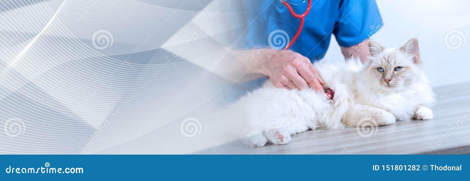 Veterinarian examining a sacred cat of burma; panoramic banner