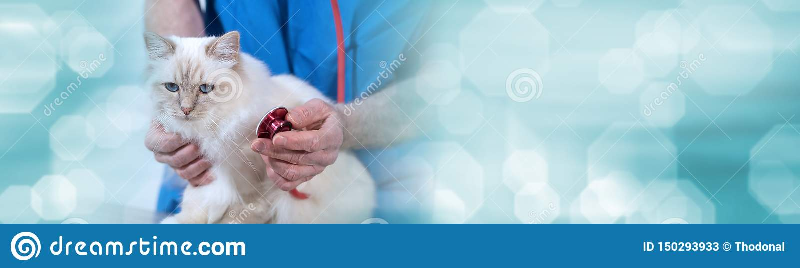 Veterinarian examining a sacred cat of burma with his stethoscope; panoramic banner