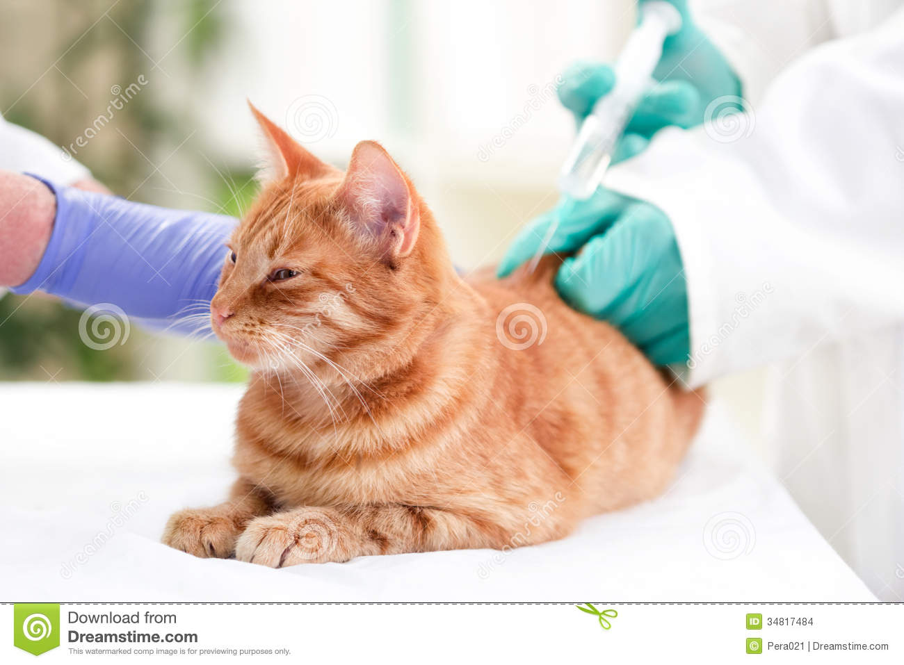 veterinarian giving injection insulin to a cat stock