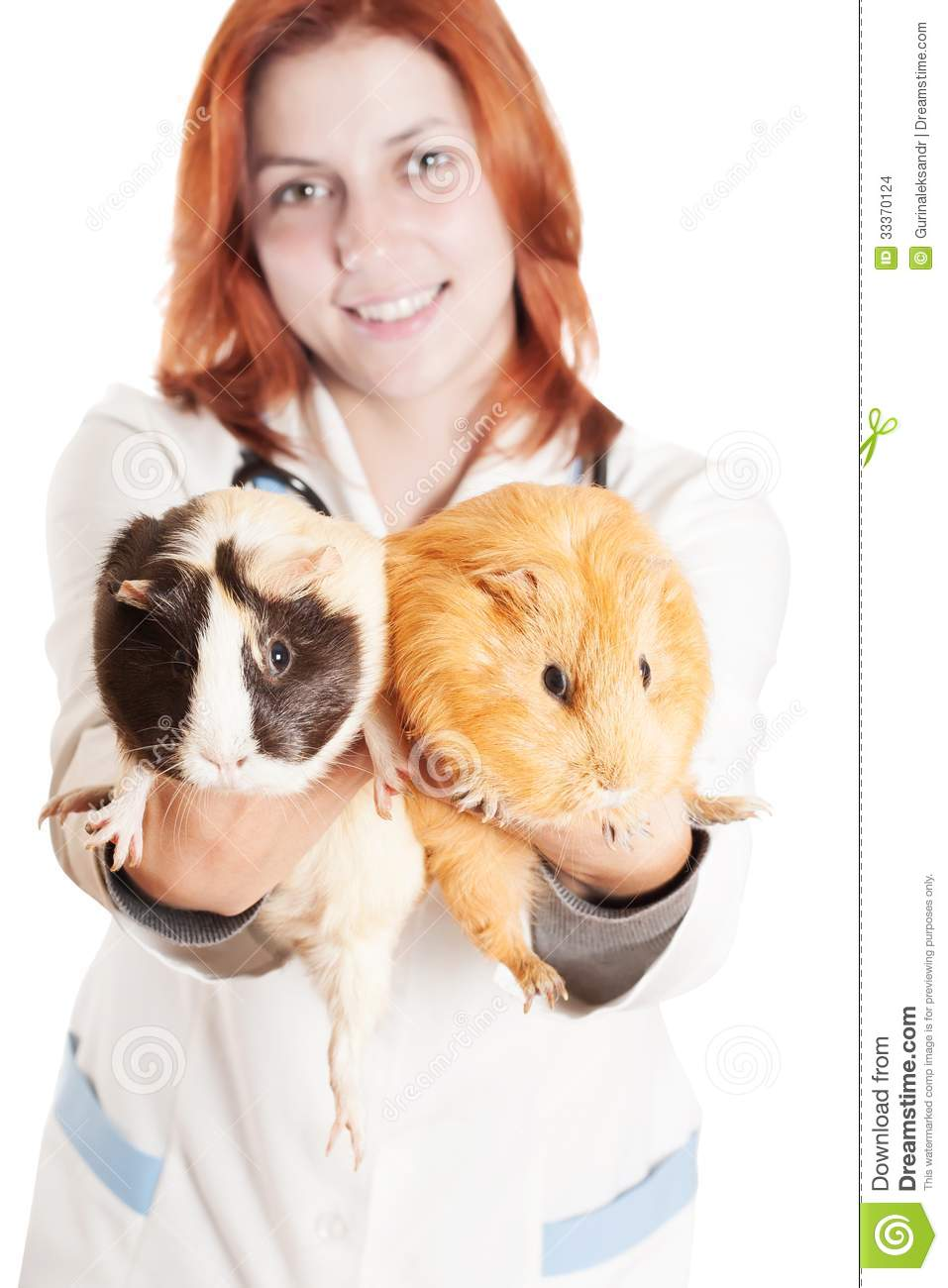 ... on outstretched arms guinea pig on a white background isolated