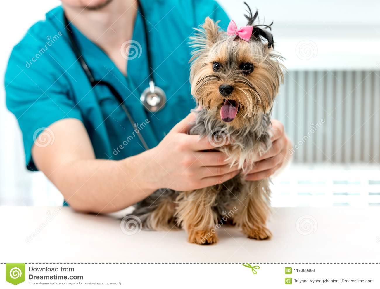 Veterinarian hands holding Yorkshire Terrier dog on examination table