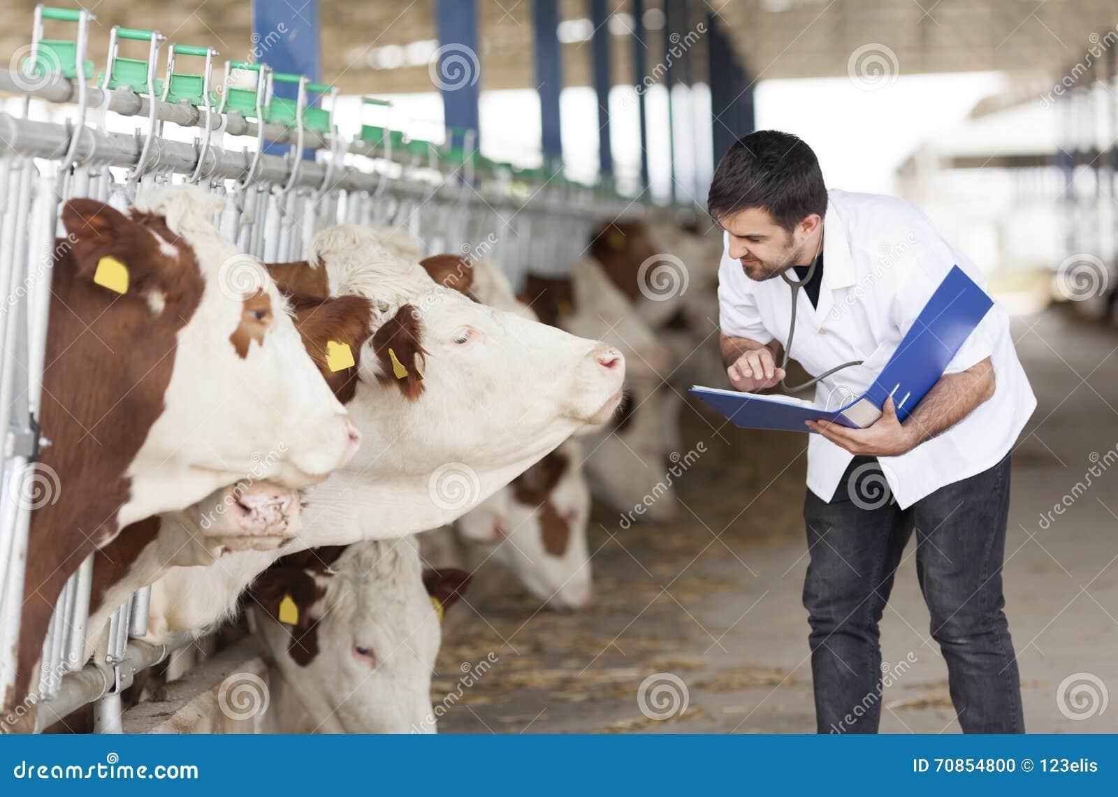 Veterinario e mucche