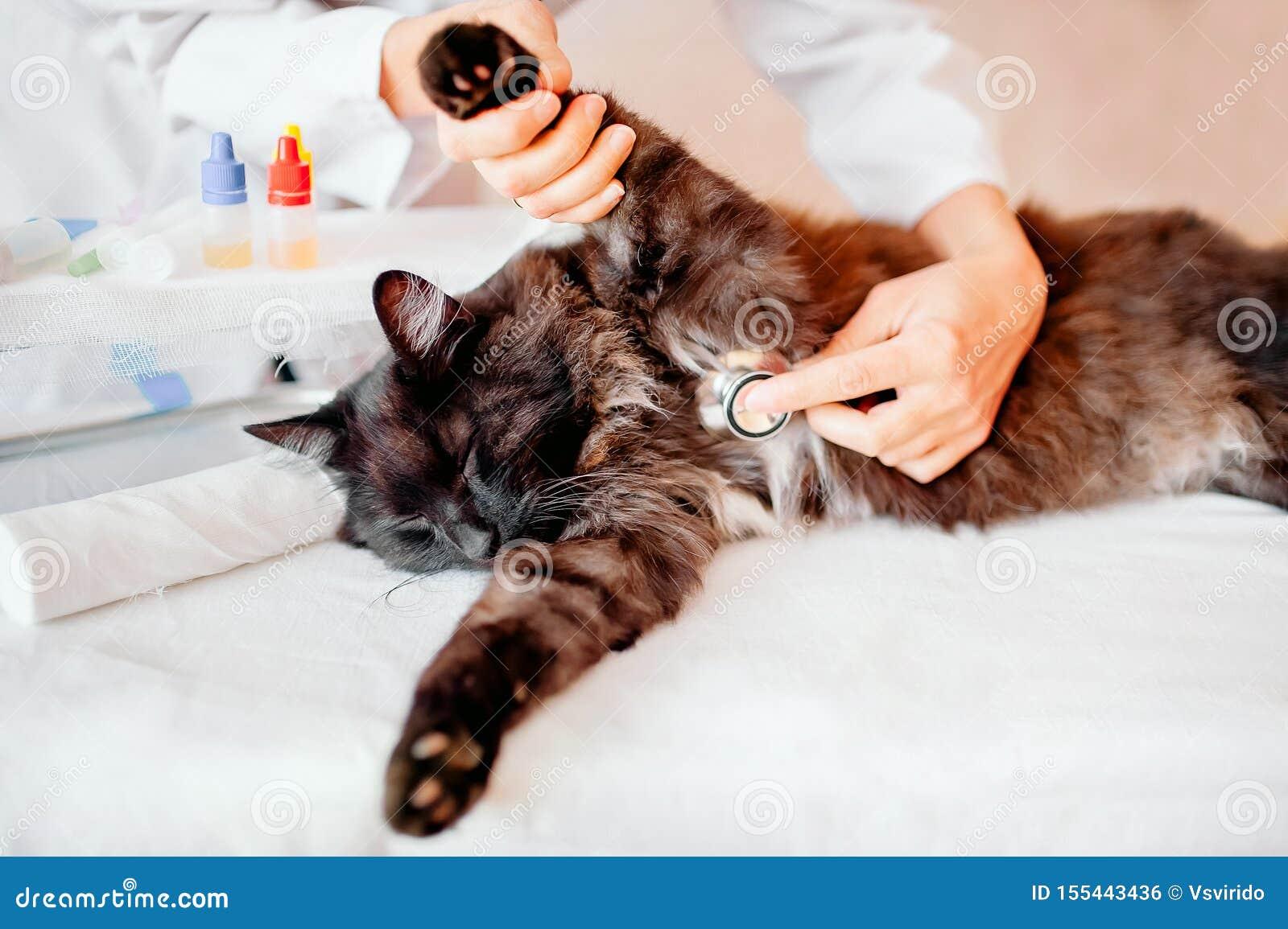 Veterinario: El veterinario de sexo femenino comprueba sobre gato negro