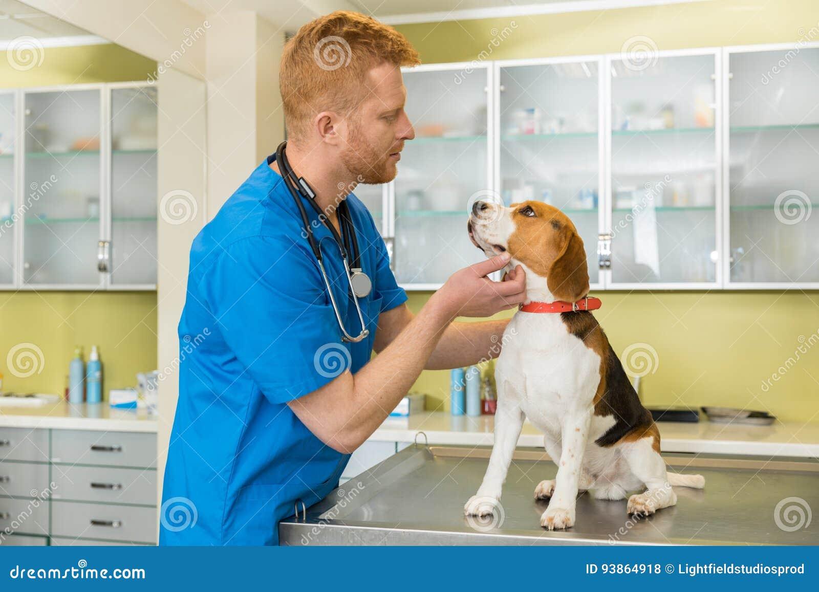 Veterinario examing el perro lindo del beagle