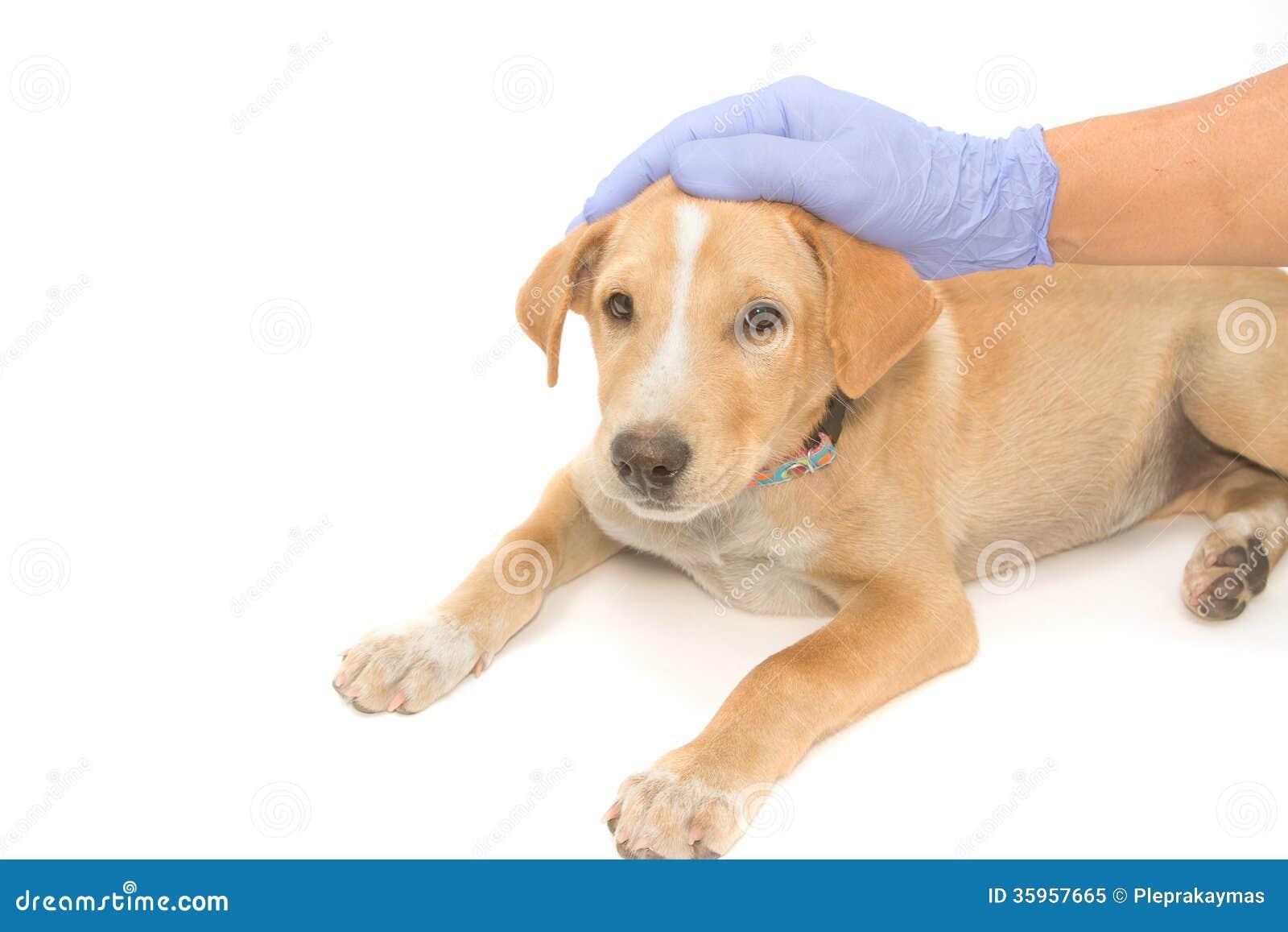 Veterinario que cuida que conforta el perro enfermo