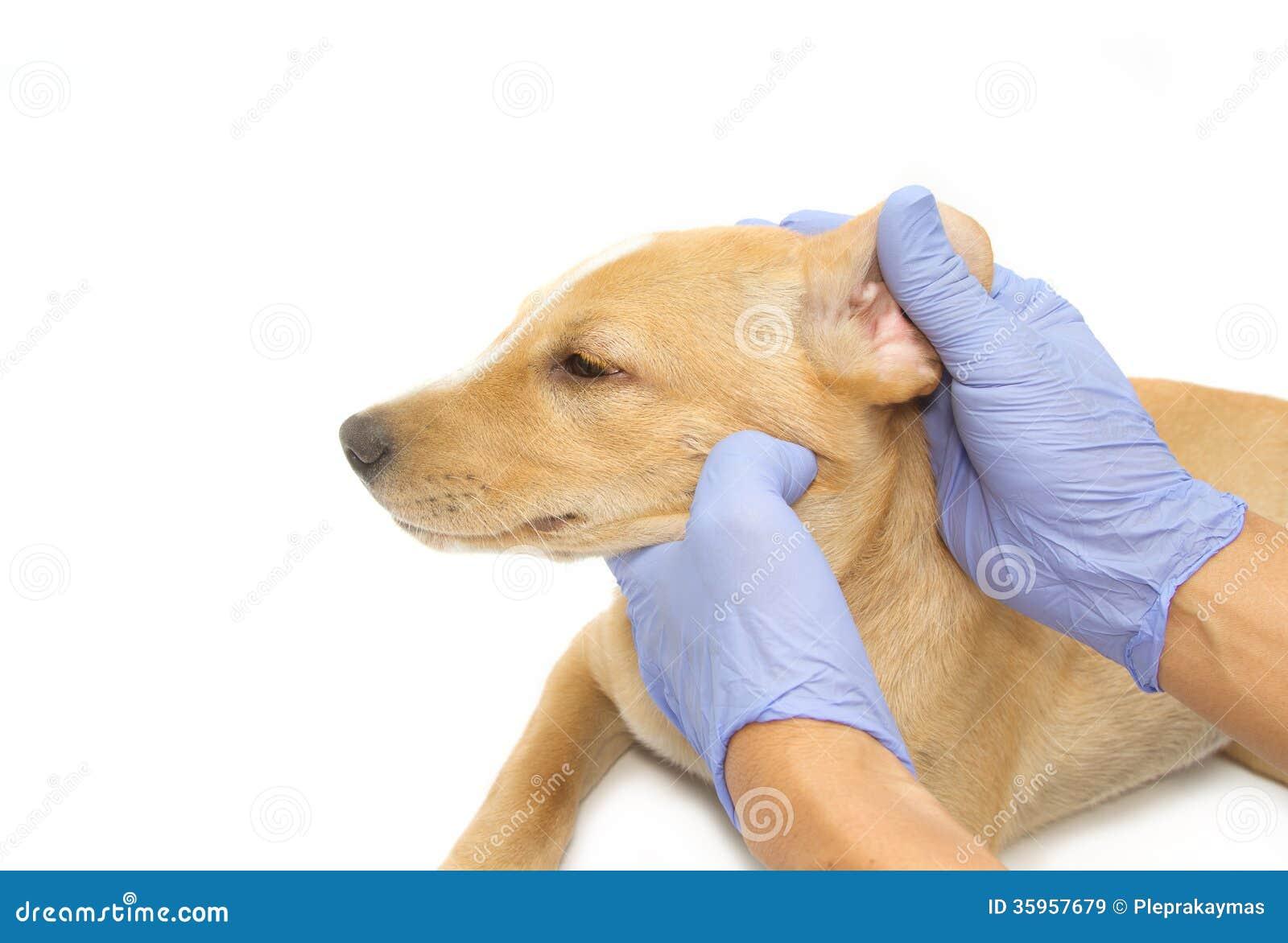 Veterinario que examina el oído de un perrito