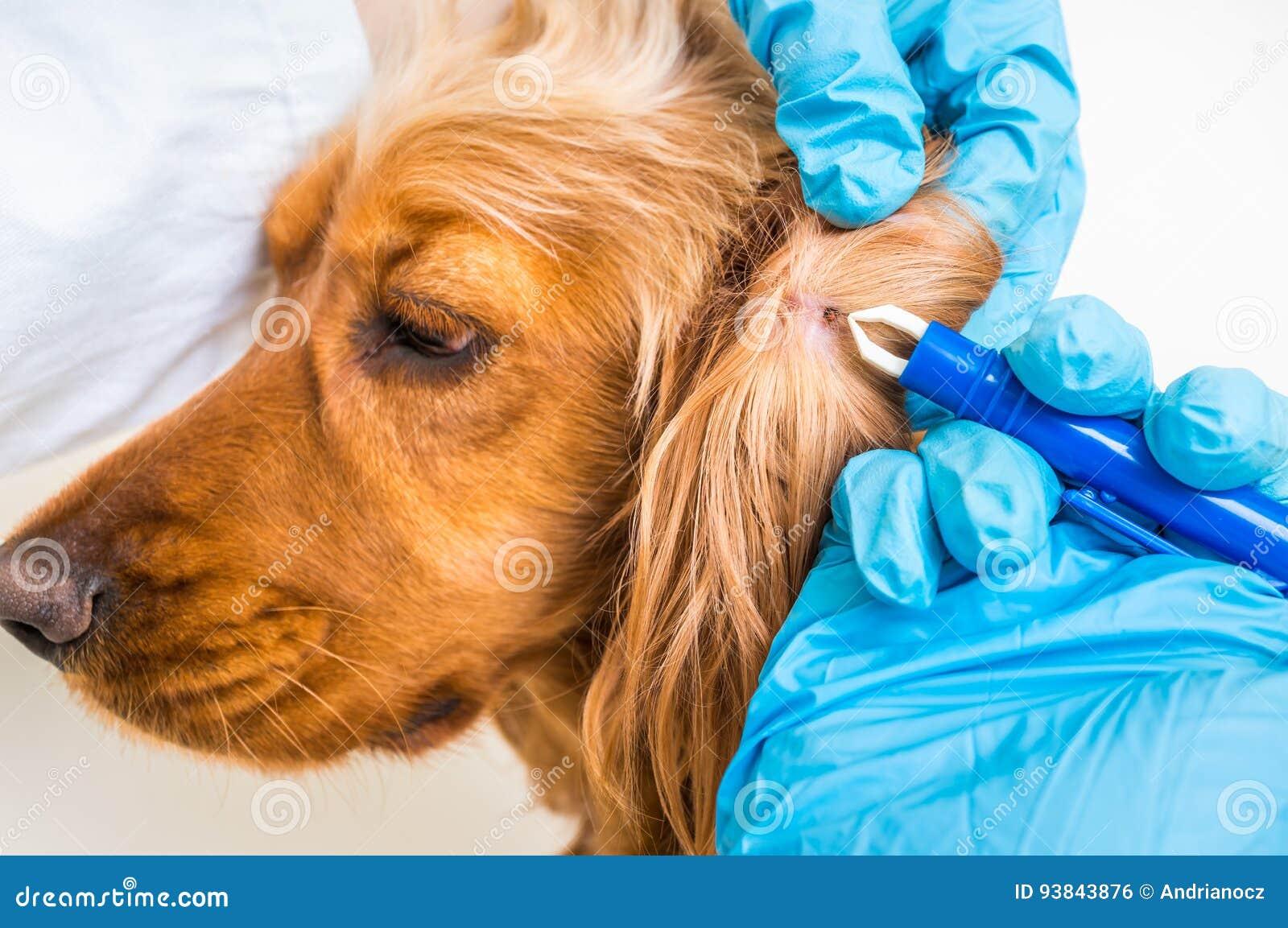 Veterinario que quita una señal del perro de cocker spaniel