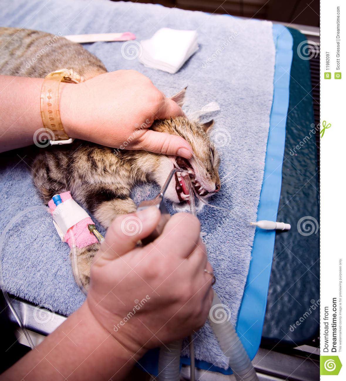 Baby Pet Vet Little Foot Doctor: Veterinary Dentistry Stock Image. Image Of Professional