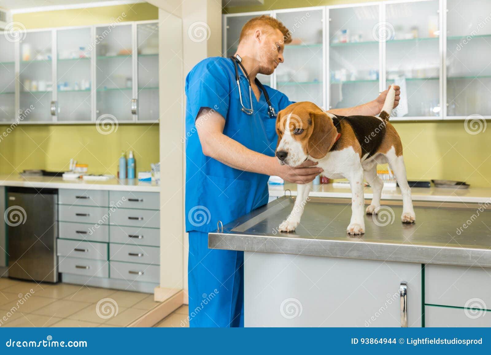 Veterinary examing cute beagle dog