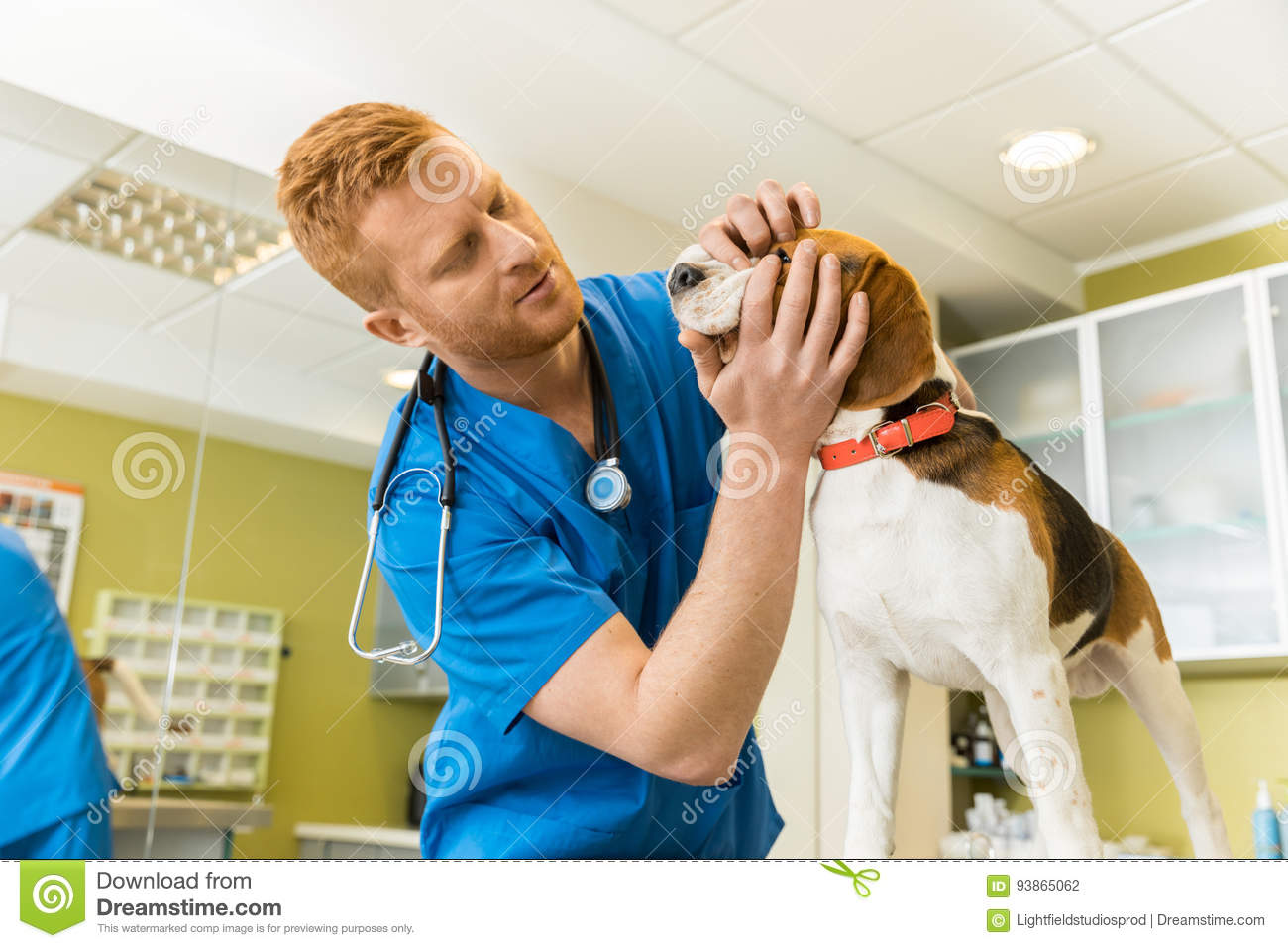 Veterinary examing cute beagle dog