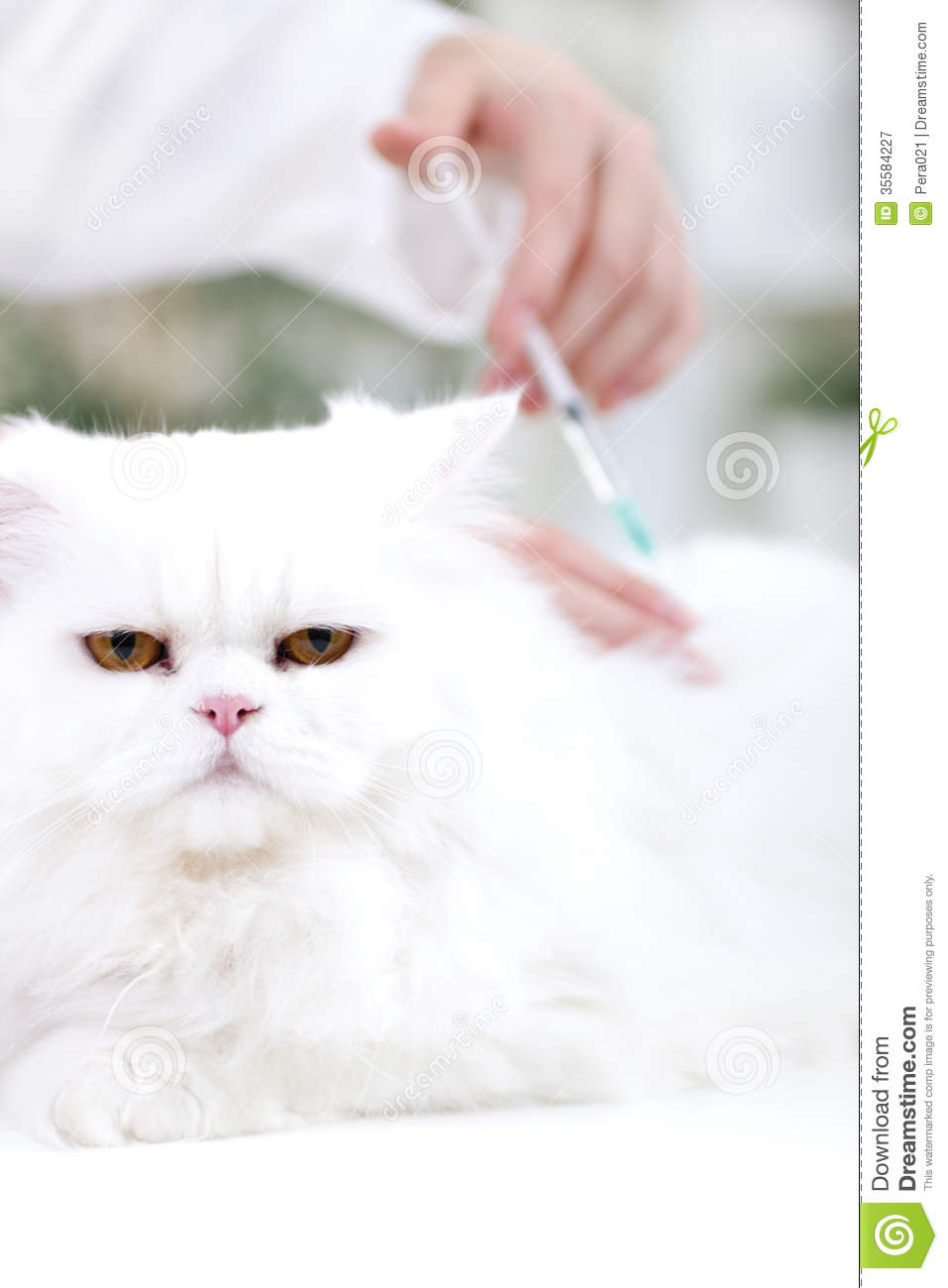 Veterinary surgeon is giving the vaccine to the white Persian ca