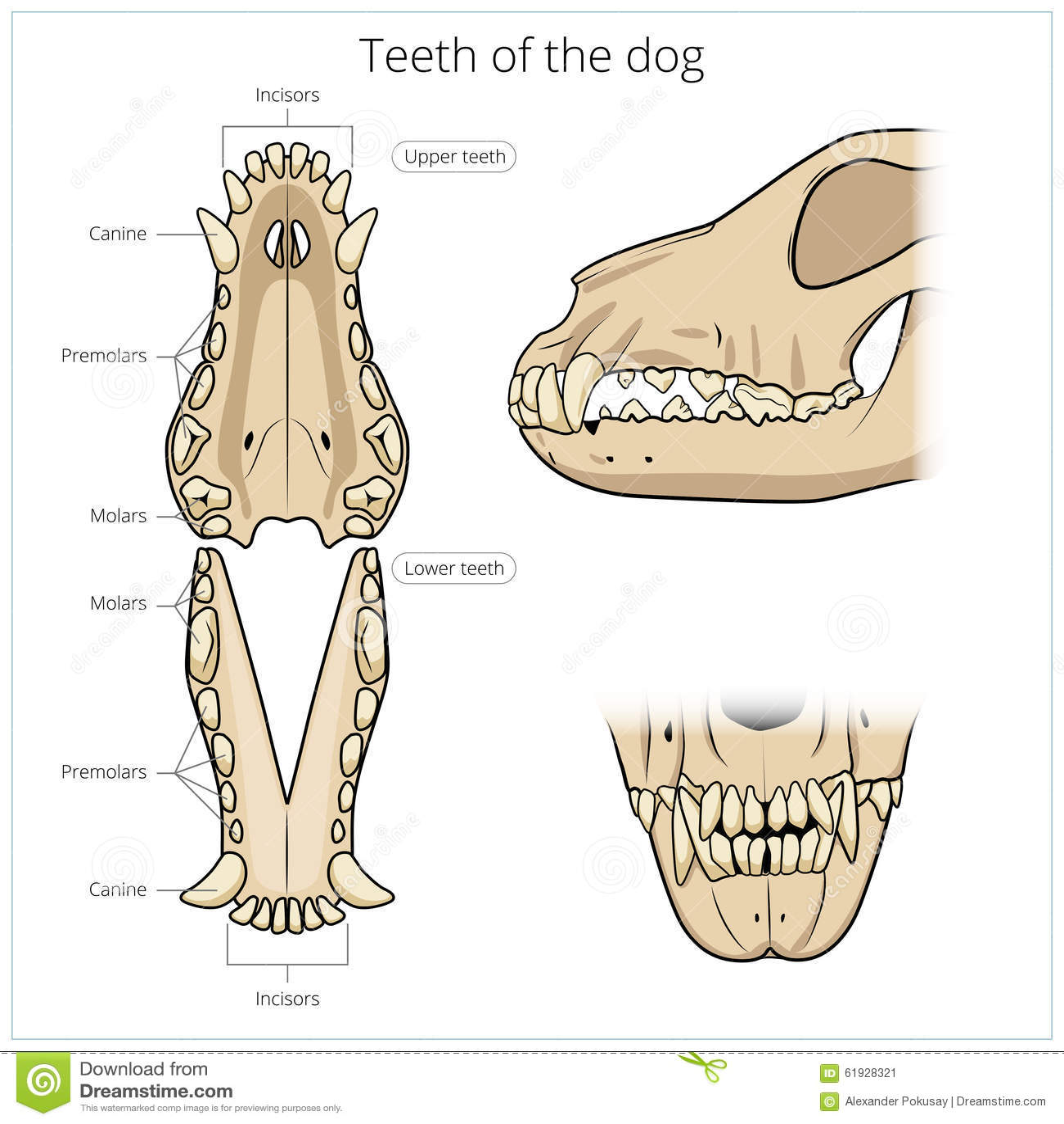 Veterinary Vector Illustration Teeth Of The Dog Stock Vector
