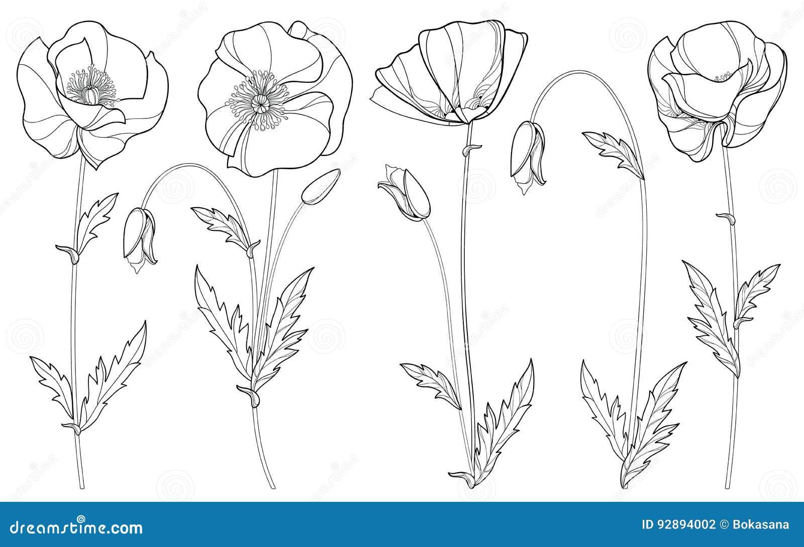 Vetor ajustado com a flor, o botão e as folhas da papoila do esboço no preto isolados no fundo branco Elementos florais no estilo