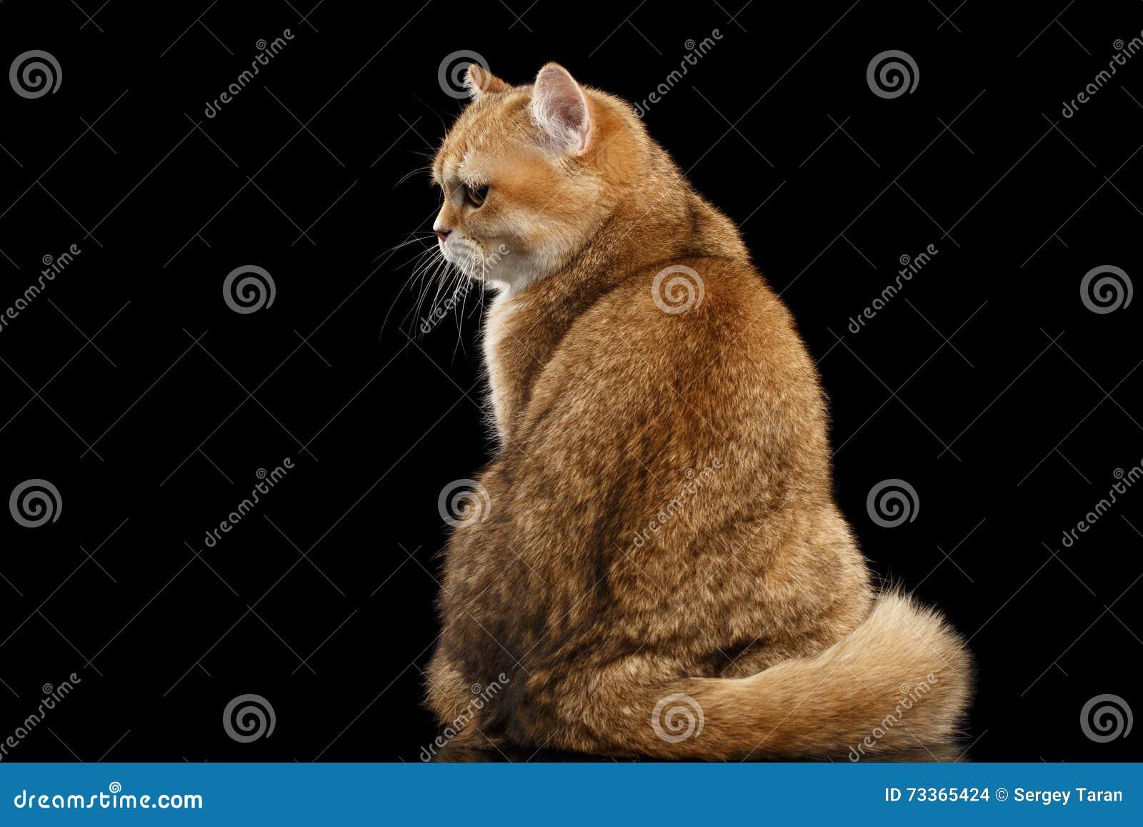 Vette Britse Cat Gold Chinchilla Sitting Back, Knorrige Zwarte