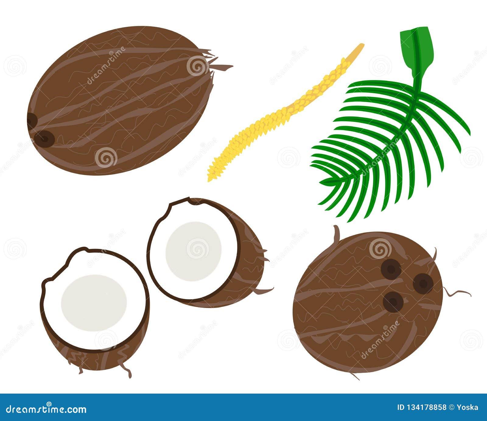Vettore della noce di cocco