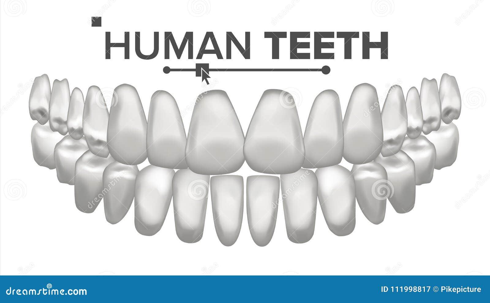 Vettore di anatomia della bocca del dente Denti umani Denti bianchi sani Concetto medico di odontoiatria realistico 3D isolato