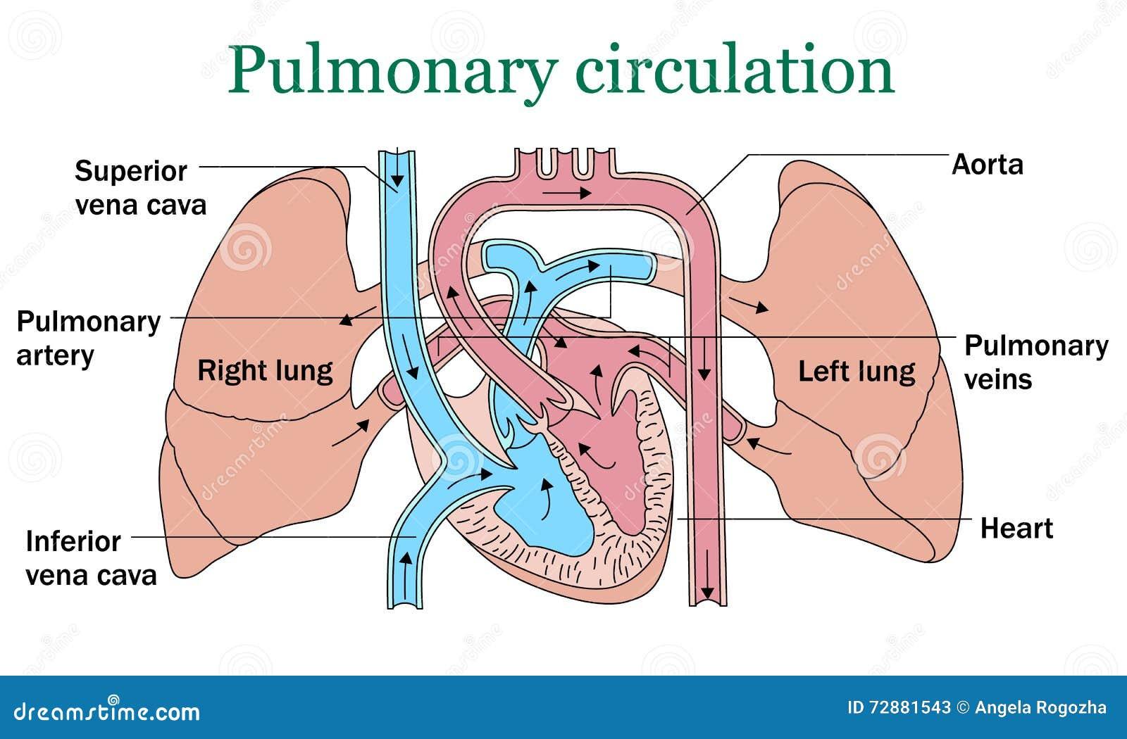 Vettore di circolazione polmonare