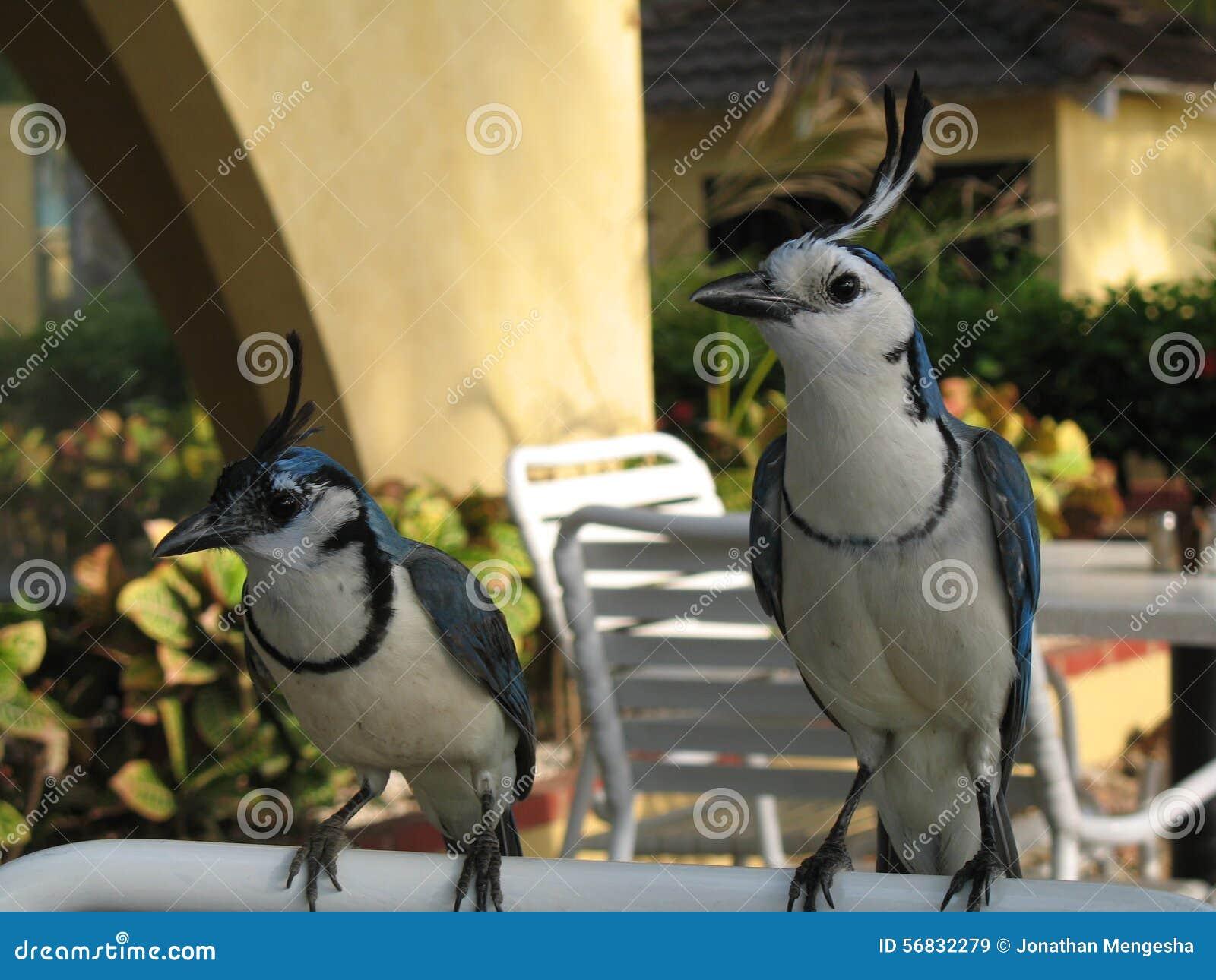 Vögel In Costa Ri... Jay Z