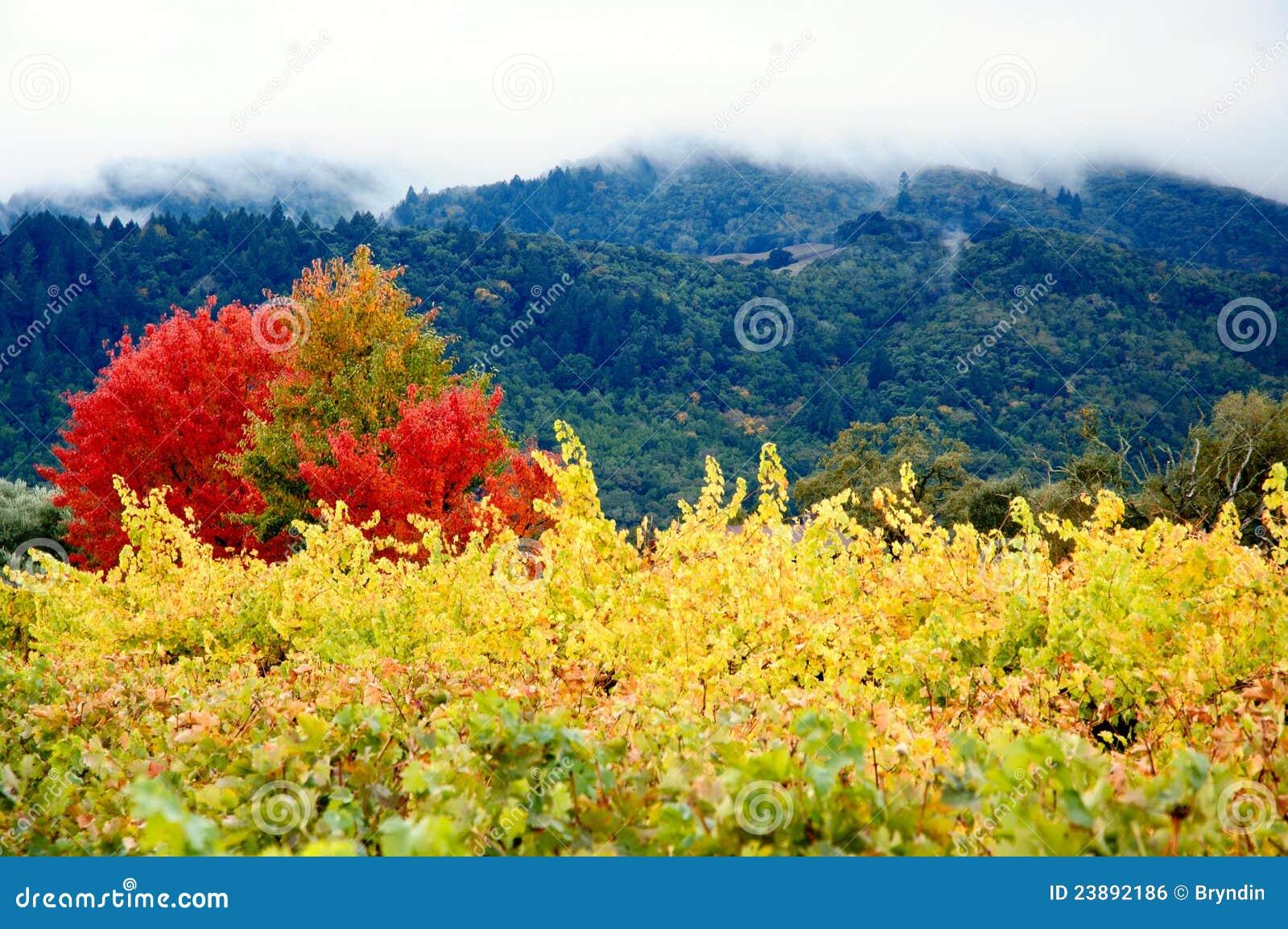 Viñedos coloreados del otoño
