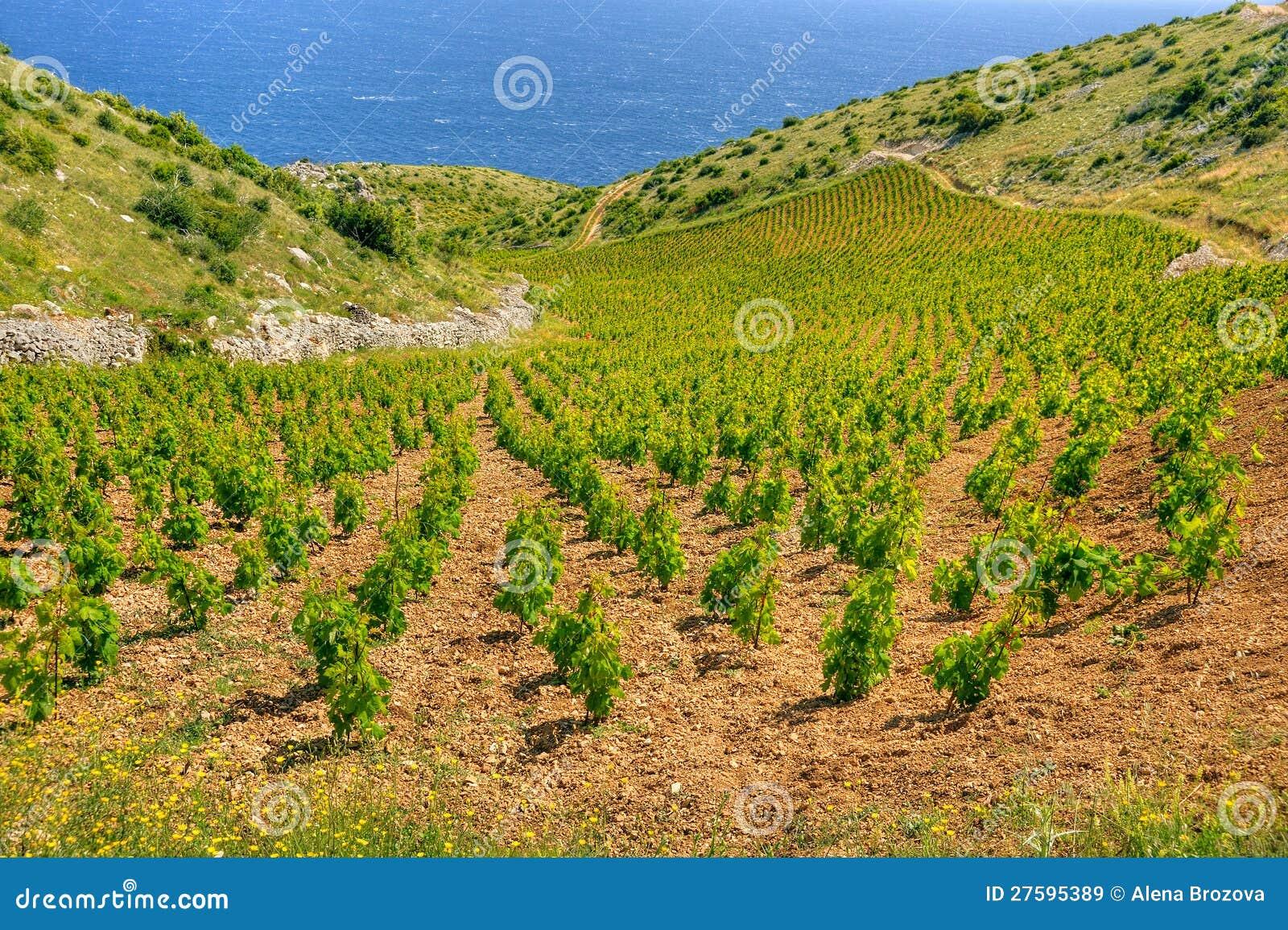Viñedos, costa meridional de la isla de Hvar, al oeste de