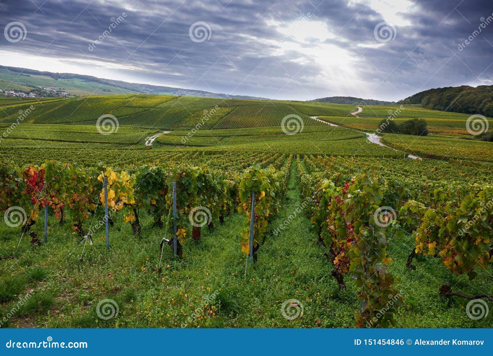 Viñedos de Champán cerca de Epernay, Francia