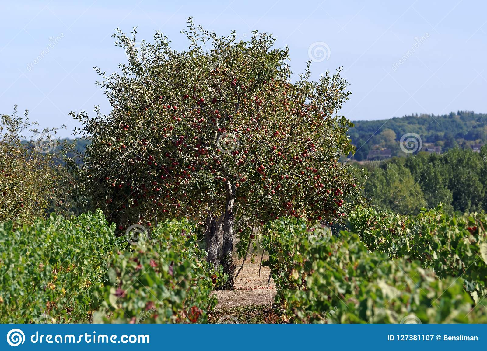 Viñedos En El Valle Del Loira Imagen De Archivo Imagen De Loira Valle 127381107
