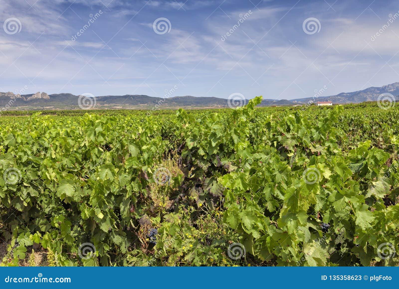 Viñedos en la región de La Rioja