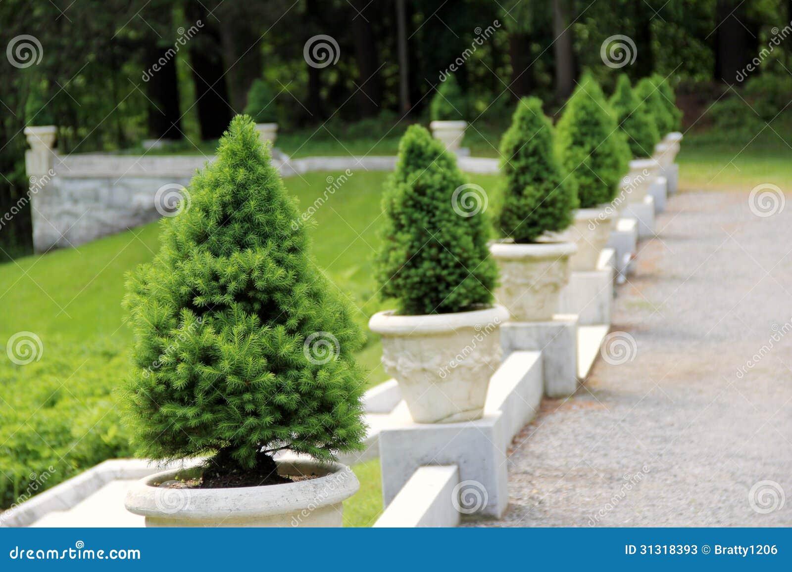 Via della ghiaia con gli alberi di pino mugo immagine - Pino nano da giardino ...