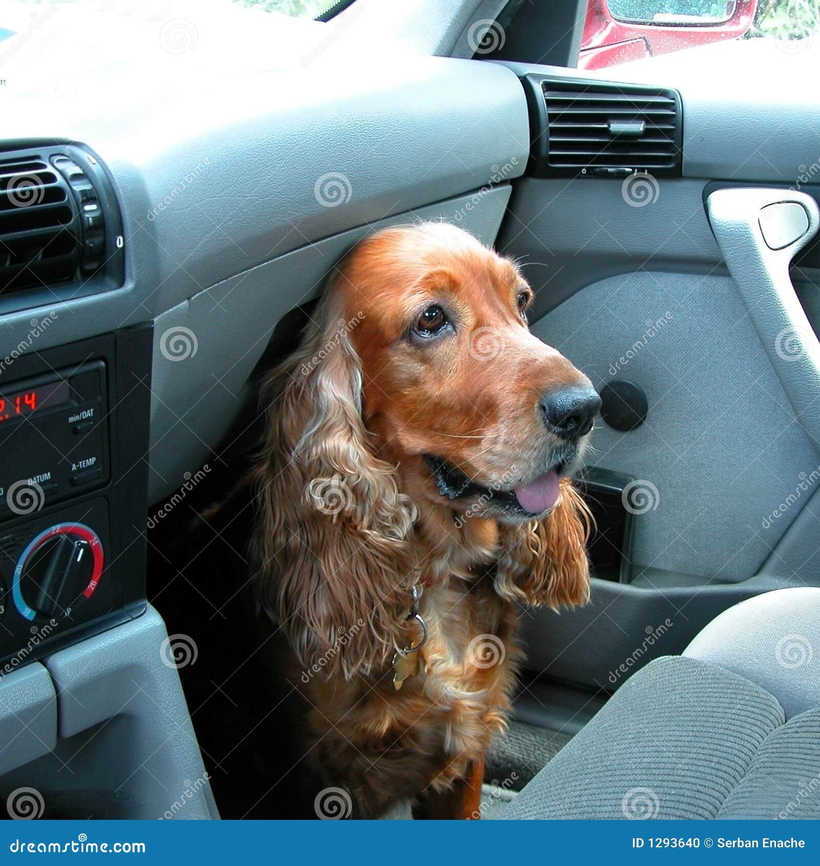 Viajará - o cão