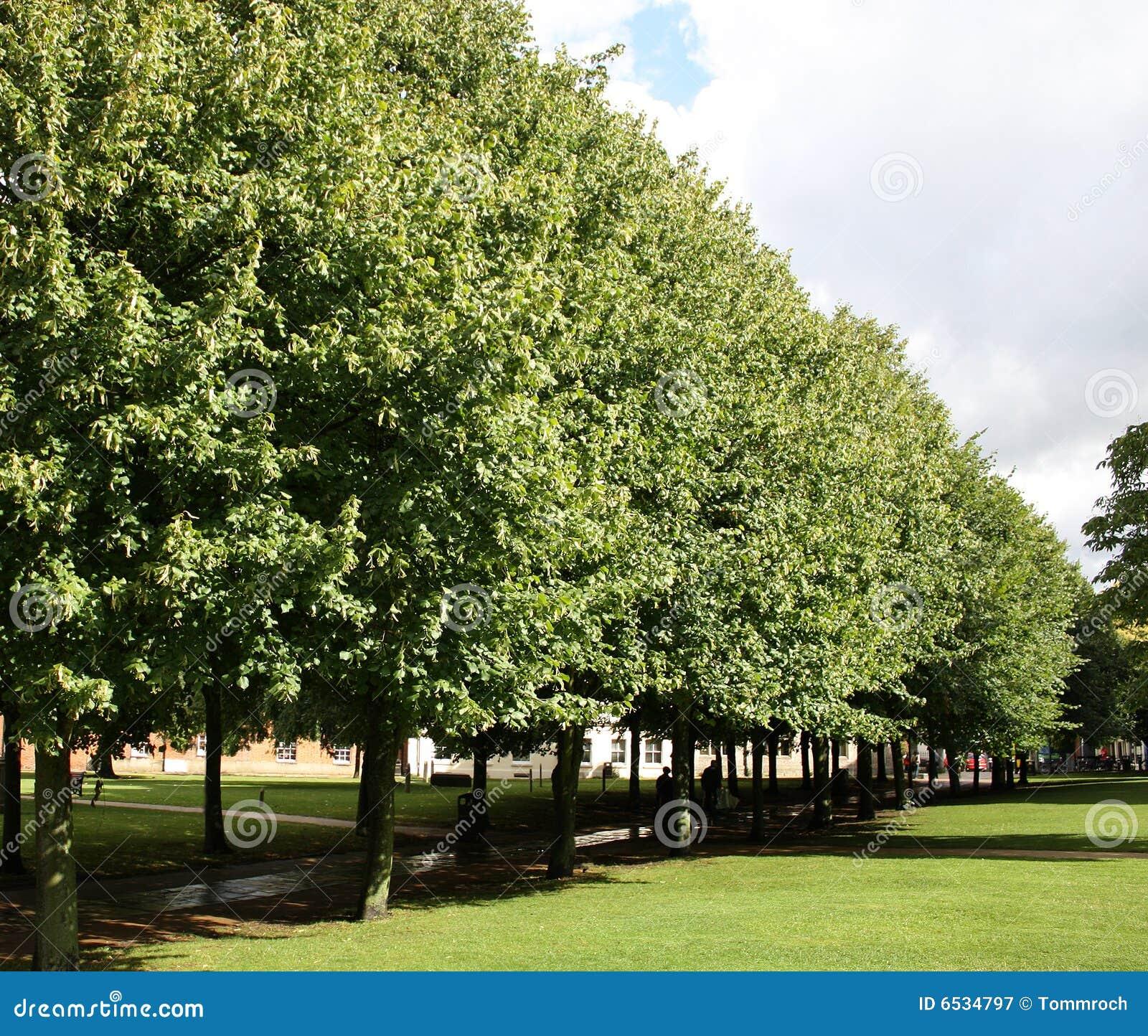 Viale degli alberi immagine stock immagine di alberi for Alberi da frutto prezzi